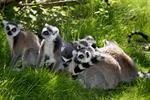 Lemur catta